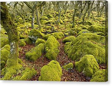 Oak Woodland On Dartmoor Canvas Print