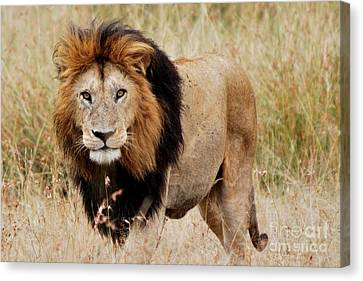 Old Lion Canvas Print by Alan Clifford