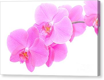 Orchid Isolated Canvas Print by Michal Bednarek