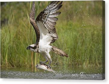 Osprey Catching A Fish Canvas Print by Science Photo Library