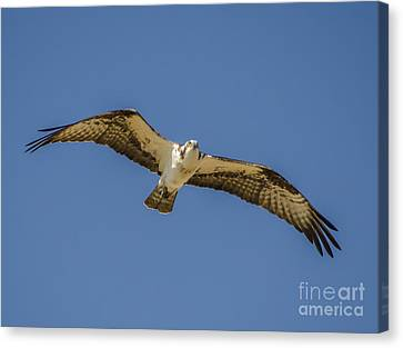 Canvas Print featuring the photograph Osprey In Flight Spreading His Wings by Dale Powell