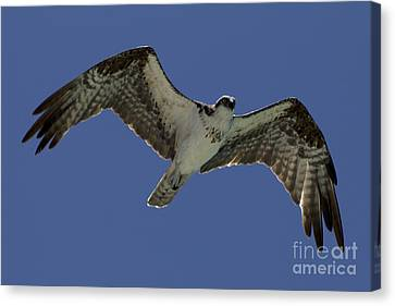 Canvas Print featuring the photograph Osprey In Flight Photo by Meg Rousher