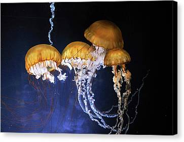 Pacific Sea Nettle Jellyfish Canvas Print