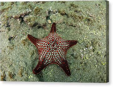 Panamic Cushion Star (pentaceraster Canvas Print