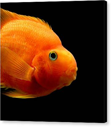 Parrot Fish Canvas Print by Heike Hultsch