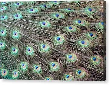 Canvas Print featuring the photograph Peacock Feather Fiesta  by Diane Alexander