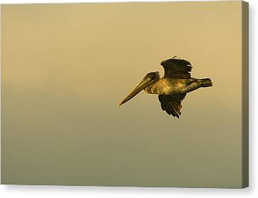 Sea Birds Canvas Print - Pelican by Sebastian Musial