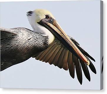Pelican Up Close Canvas Print by Paulette Thomas