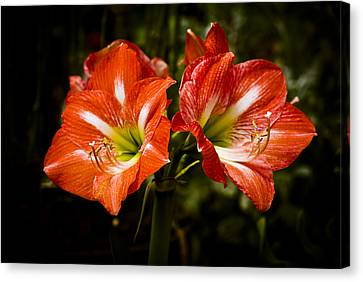 Crimson Lilies Canvas Print - Petal Pair by Christi Kraft