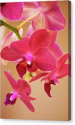 Perennial Canvas Print - Phalaenopsis Orchid Flowers by Maria Mosolova