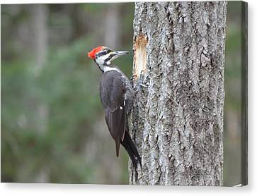 Pileated Woodpecker Canvas Print - Pileated Woodpecker by James Petersen