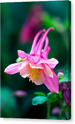Pink And White Columbine Flower Canvas Print by RM Vera