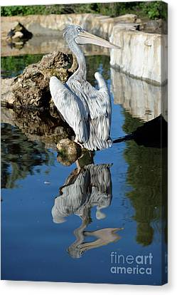 Pink Backed Pelican Canvas Print by George Atsametakis