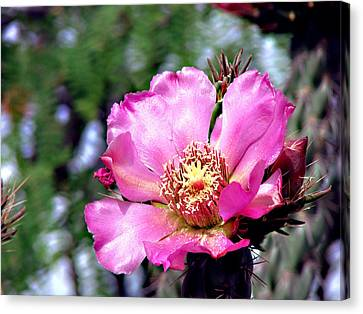 Pink Cactus Flower Canvas Print