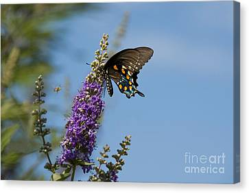 Agnus Canvas Print - Pipevine Swallowtail Butterfly by Richard and Ellen Thane