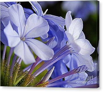 Plumbago Summer Solstice In New Orleans Louisiana Canvas Print by Michael Hoard