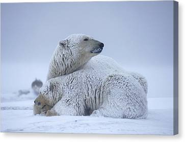 Polar Bear Sow With Cub Resting Canvas Print by Steven Kazlowski