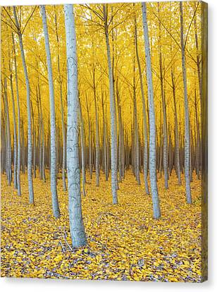 Poplar Plantation In Autumn Canvas Print by Panoramic Images