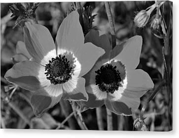 Poppy Anemones Canvas Print by George Atsametakis