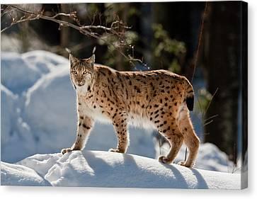 Portrait Of Eurasian Lynx (lynx Lynx Canvas Print