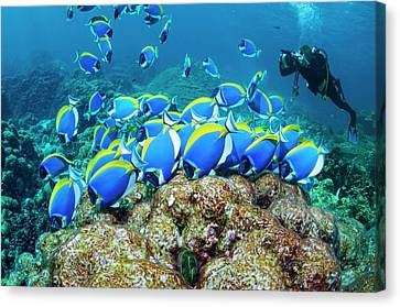 Powderblue Surgeonfish Canvas Print