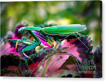Praying Mantis Canvas Print by Robert Bales