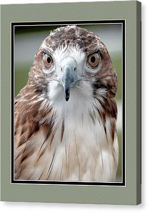 Predatorial Glare Canvas Print