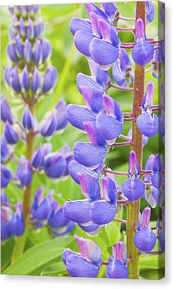 Purple Lupine Flowers Canvas Print by Keith Webber Jr