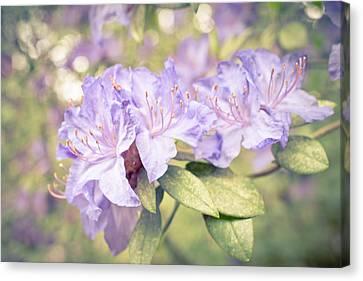 Purple Rhododendron Sparkles Canvas Print