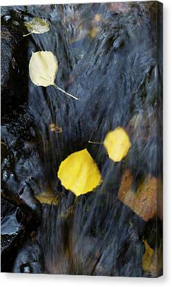 Quaking Aspen Leaves In The South Ponil Canvas Print by Maresa Pryor