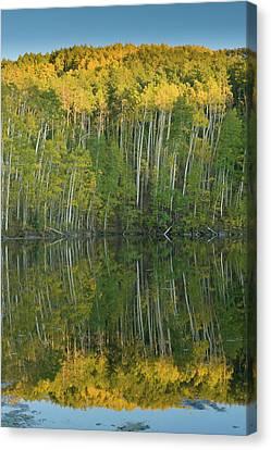 Populus Tremuloides Canvas Print - Quaking Aspen (populus Tremuloides by Howie Garber