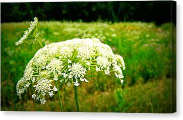 Queen Anne's Lace Canvas Print by Carol Toepke
