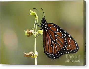 Canvas Print featuring the photograph Queen Butterfly by Meg Rousher