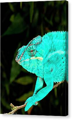 Rainbow Panther Chameleon, Fucifer Canvas Print by David Northcott