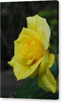 Raindrops On Roses Canvas Print by Robert  Moss