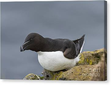 Razorbill Canvas Print by John Shaw