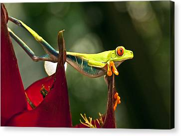 Canvas Print featuring the photograph Red Eyed Tree Frog 1 by Jialin Nie Cox WorldViews