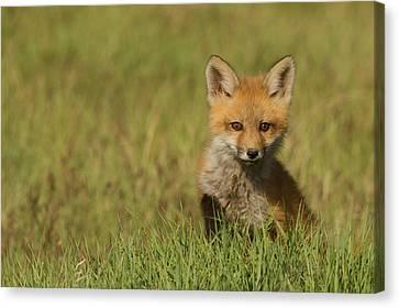Fox Kit Canvas Print - Red Fox Kit by Ken Archer