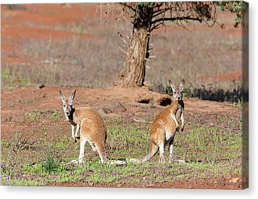 Red Kangaroo (macropus Rufus Canvas Print by Martin Zwick
