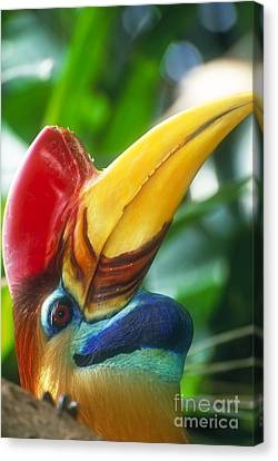 Red-knobbed Hornbill Canvas Print by Art Wolfe