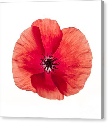 Red Poppy Flower Canvas Print by Elena Elisseeva