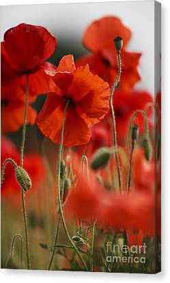 Red Poppy Flowers Canvas Print