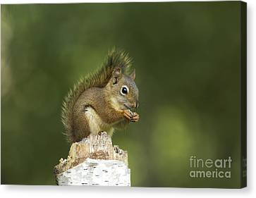 Red Squirrel Eating Canvas Print by Linda Freshwaters Arndt