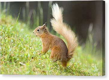 Red Squirrel Feeding Canvas Print