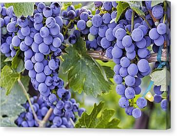 Red Wine Grapes Hanging On The Vine Canvas Print