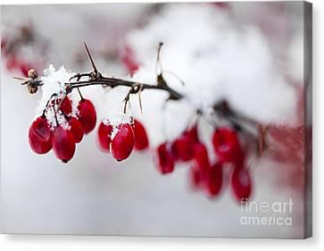 Red Winter Berries Under Snow Canvas Print by Elena Elisseeva