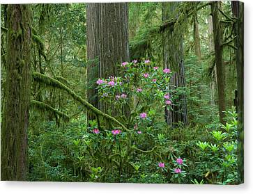 Redwood Trees And Rhododendron Flowers Canvas Print