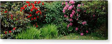Rhododendrons Plants In A Garden, Shore Canvas Print by Panoramic Images