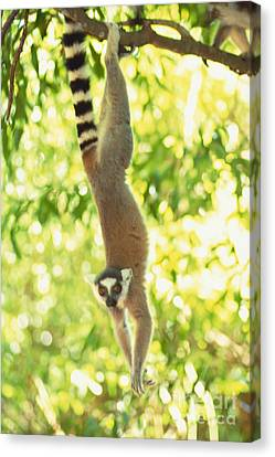 Ring-tailed Lemur Canvas Print by Art Wolfe