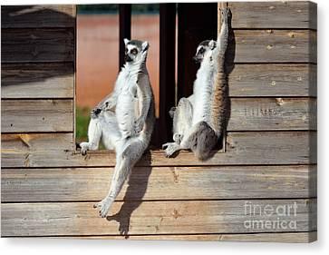 Ring Tailed Lemurs Canvas Print by George Atsametakis